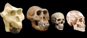 Primate Skulls